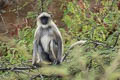 Northern Plains Grey Langur Semnopithecus entellus (Sacred Langer)