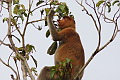 Proboscis Monkey Nasalis larvatus (Long-nosed Monkey)