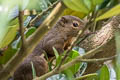 Plantain Squirrel Callosciurus notatus