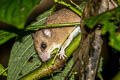Indomalayan Pencil-tailed Tree Mouse Chiropodomys gliroides