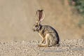 Black-tailed Jackrabbit Lepus californicus