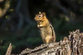 Golden-mantled Ground Squirrel Callospermophilus lateralis