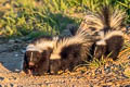 Striped Skunk Mephitis mephitis