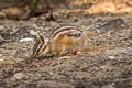 Yellow-pine Chipmunk Neotamias amoenus