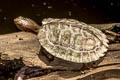 Black-bridged Leaf Turtle Cyclemys atripons