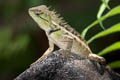 Forest Crested Lizard Calotes emma