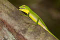 Green Crested Lizard Bronchocela cristatella  (Crested Green Lizard)