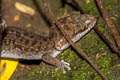 ground gecko